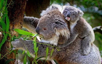 koalas, cute animals, marsupials, small koala, mother and cub, koala