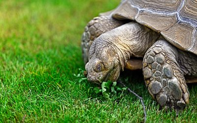 turtle, green grass, wildlife, reptiles, large turtles