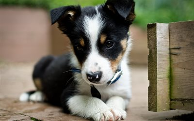 Border Collie, puppy, cute animals, close-up, black border collie, pets, dogs, Border Collie Dog