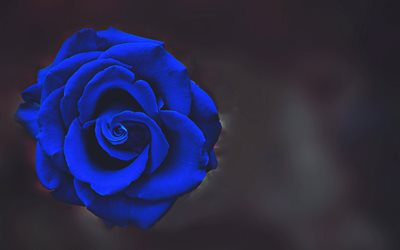 blue rose, bokeh, blue flowers, beautiful flowers, blue buds, roses