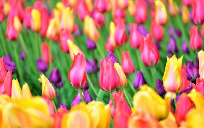 colorful tulips, field, close-up, bokeh, colorful flowers, tulips