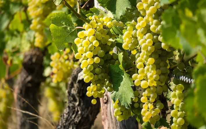 white grapes, Sultana, Thompson Seedless, vineyard, bunch of grapes, fruit