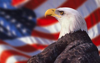 Bald eagle, bird of prey, hawk, American flag, US flag