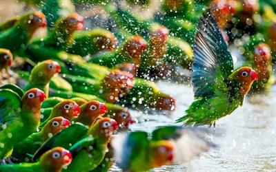 Lovebird, green parrots, beautiful green birds, Madagascar