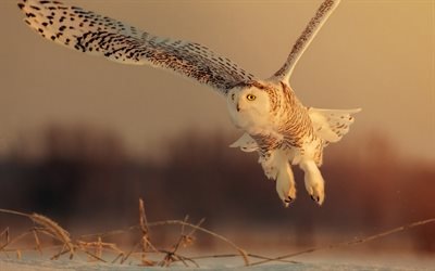 white owl, winter, flying birds, forest dwellers, large owl