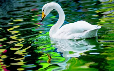 white swan, lake, waves, bokeh, swan on lake, cute birds, swans