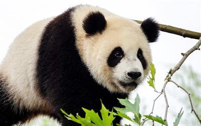 giant panda, cute animals, bears, pandas, wildlife, panda on tree