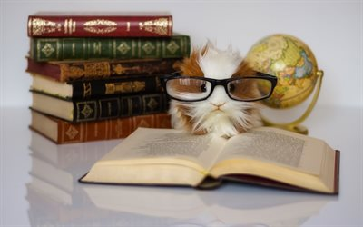 guinea pig, cute animals, education concepts, books, guinea pig with glasses, pets