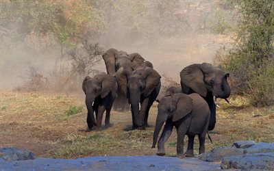 Elephants, Africa, wildlife, lake, elephants drink water, wild animals, elephant family