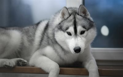 husky dog, little puppy, cute animals, puppies, pets, small dog, Alaskan Malamute