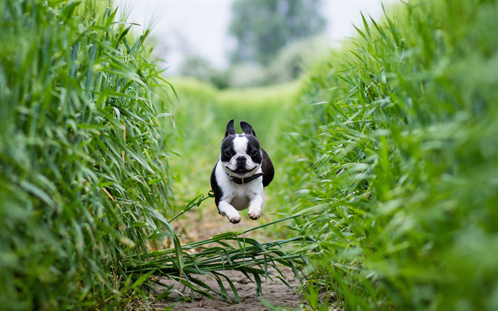 Boston Terrier, 4k, pets, dogs, running dog, cute animals, Boston Terrier Dog
