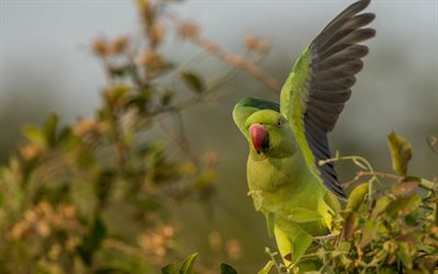 Rose-ringed parakeet, Indian ringed parrot, green bird, parrots, rainforest, green big parrots, Psittacula krameri