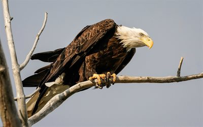 bald eagle, birds of prey, eagles, eagle on a branch, North America