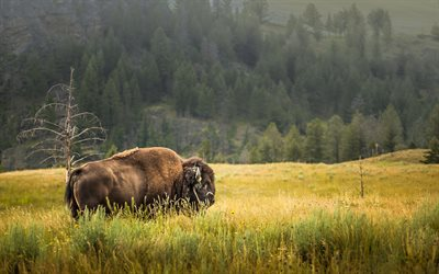Buffalo, wildlife, wild animals, fauna USA, Yellowstone National Park, Wyoming, USA