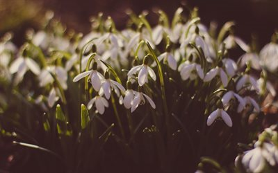 Snowdrops, spring, wildflowers, sunset, evening, spring flowers