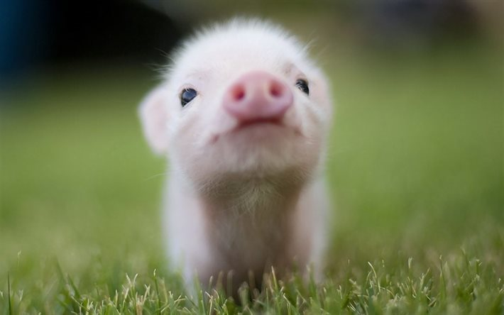 Download Wallpapers Download 2790x2547 Animals Grass: Download Wallpapers Piggy, Cute Animals, Pigs, Grass, Blur