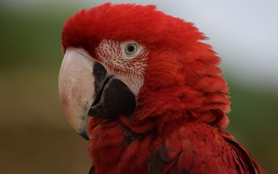 Green winged macaw, beautiful red parrot, Red-and-green macaw, tropical birds, parrots, Ara chloroptera