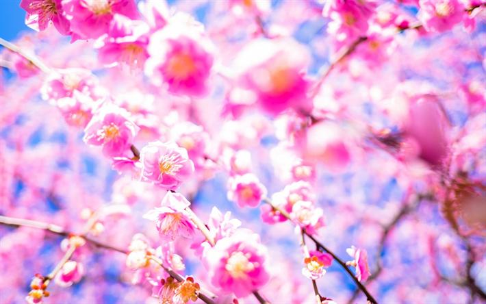 Scarica Sfondi Sakura Fiore Di Ciliegio Giappone Giardino Dei