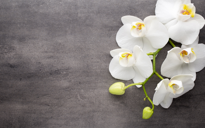 Download wallpapers white orchids tropical flowers - White orchid flowers desktop wallpapers ...