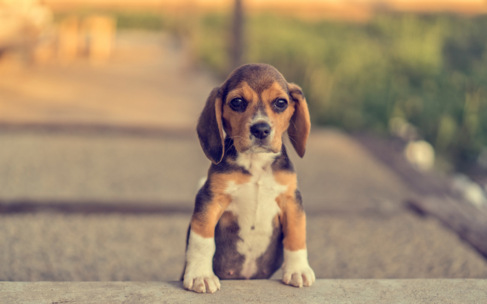 Beagle, small puppy, cute animals, pets, dogs, breed of dogs