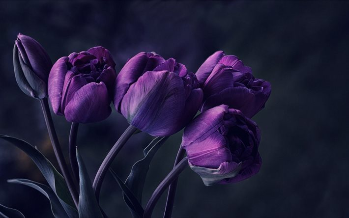 Violet tulips, spring flowers, tulips, purple flowers, purple tulips