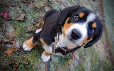 Entlebucher Mountain, 4k, close-up, puppy, Entlebucher Sennenhund Dog, pets, dogs, Entlebucher cattle dog, cute animals