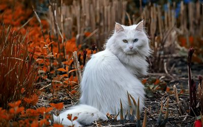 Ragdoll, white fluffy cat, heterochromia, different eyes, cute animals, pets, cats
