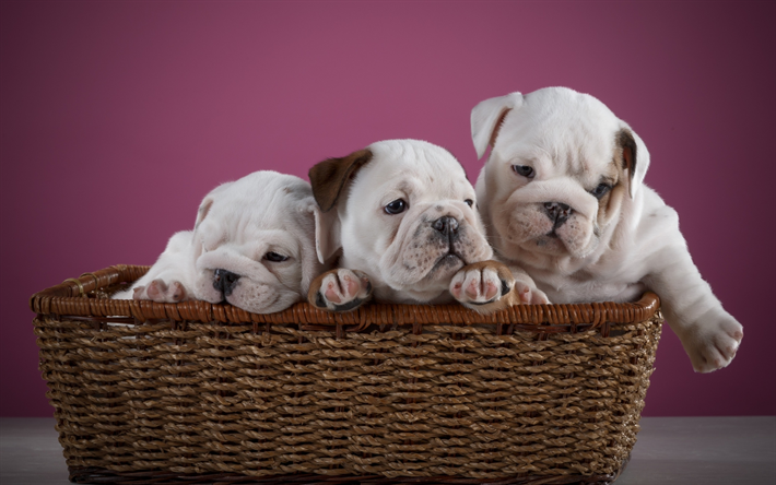Download Wallpapers English Bulldogs Small White Puppies