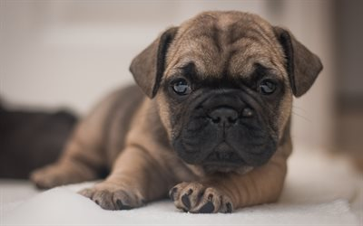 Small puppy, dog, cute animals, french bulldog, puppy