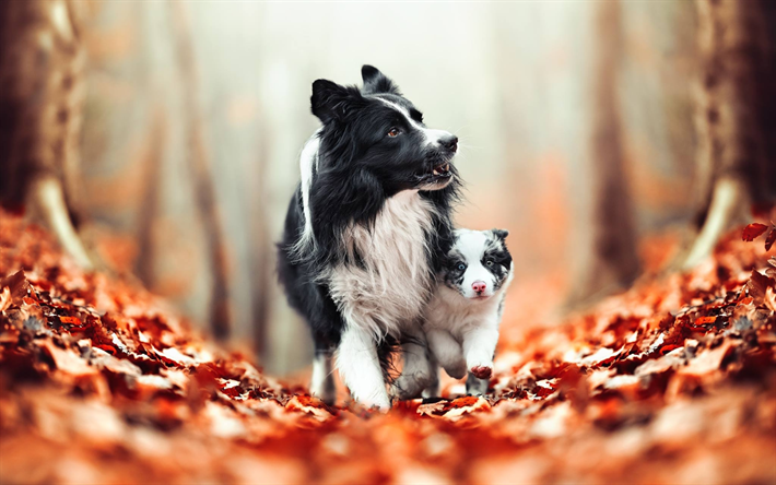 Border Collie family, bokeh, mother and cub, cute animals, black dogs, pets, black border collie, dogs, Border Collie Dog