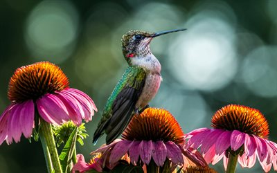 Hummingbird, wildlife, bird on flowers, small birds, Trochilidae, colorful birds