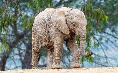little elephant, cute animals, african animals, wildlife, elephants, africa, gray elephant