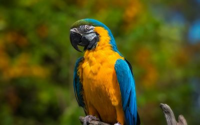 Blue-and-yellow macaw, beautiful yellow parrot, tropical birds, macaw, parrots