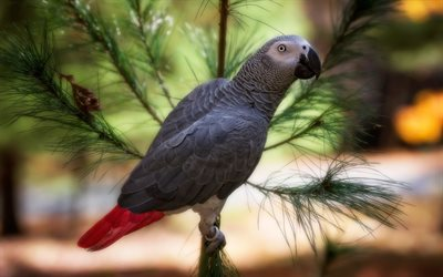 gray parrot, beautiful gray birds, parrots, Africa, African grey parrot