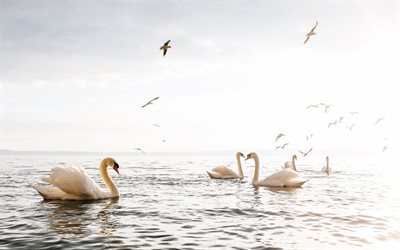 Sea, swans, gulls, white birds, beautiful birds, sunset