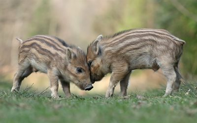 small wild boars, wildlife, funny animals, little pigs, forest, wild boars