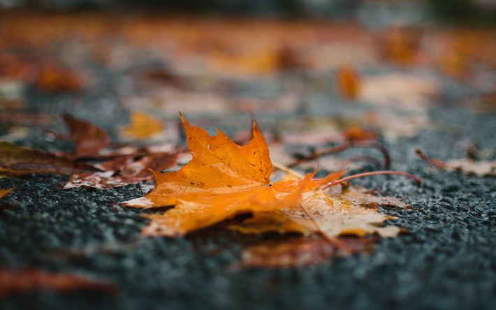 maple yellow leaf, autumn, rain, puddle, fallen leaves, autumn concepts