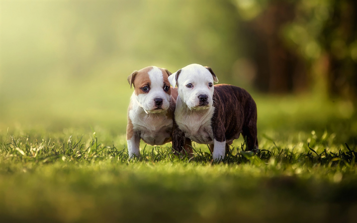 American pit bull terrier, little cute puppies, green grass, cute little animals, puppies, pets, dogs