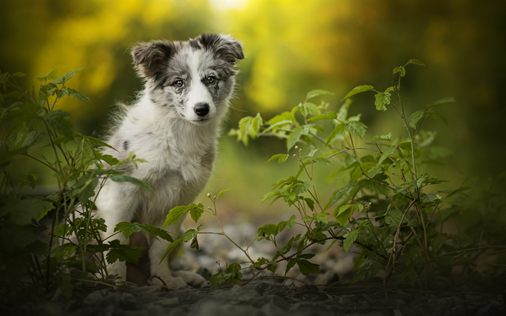 Australian Shepherd, forest, bokeh, cute Aussie, puppy, pets, dogs, Aussie, Australian Shepherd Dog, cute animals, Aussie Dog