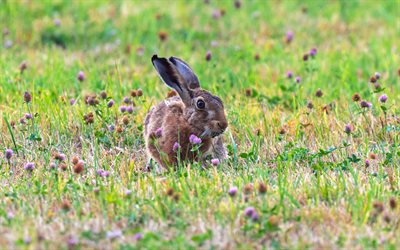 hare, 4k, wildlife, bokeh, funny animals, rabbits, Lepus