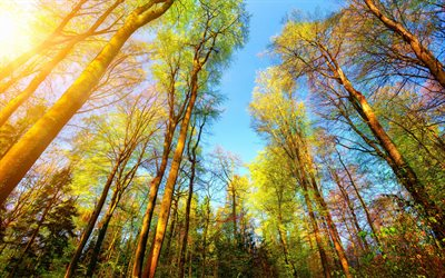 autumn forest, trees, yellow leaves, yellow trees, blue sky