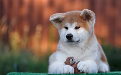 Akita Inu, 4k, pets, cute animals, dogs, puppy