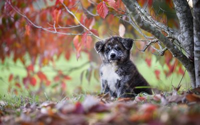 autumn, Akita-inu, puppy, small dog, cute animals, gray puppy