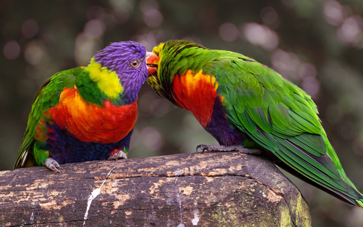 Lovebird, parrots, tropical birds, beautiful green parrots