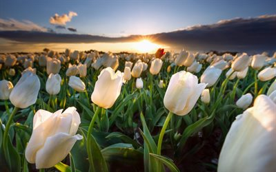 white tulips, sunset, summer, field of flowers, white flowers, tulips, beautiful flowers, Holland