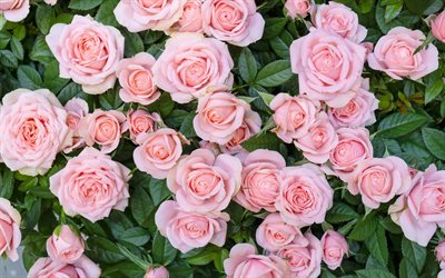 pink roses, rose bush, pink beautiful flowers, floral background, roses