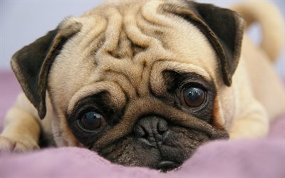 pug, puppy, pets, cute animals, dogs, muzzle, Canis lupus familiaris