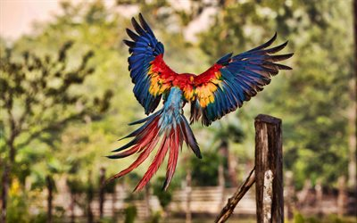 4k, Flying Macaw, bokeh, HDR, parrots, wildlife, colorful parrots, Ara