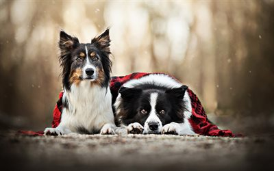 Border Collie couple, dogs family, cute animals, bokeh, pets, autumn, Border Collie, black border collie, dogs, Border Collie Dog