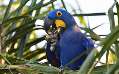 Hyacinth macaw, blue parrot, macaw, beautiful birds, blue birds, hyacinthine macaw